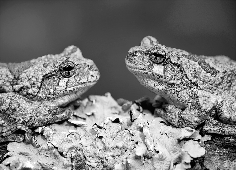 Hyla versicolor, gray tree frog, tree frog, frog, amphibian, photo