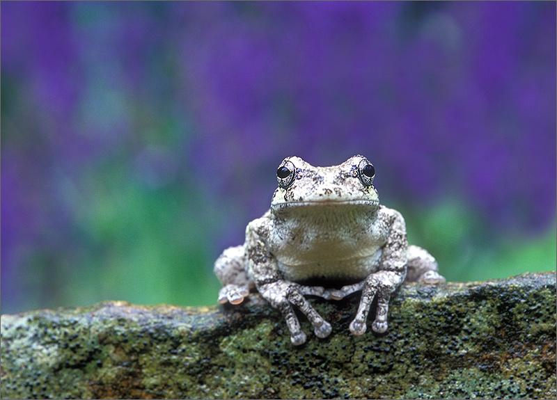 amphibian, herp, frog, toad, gray treefrog, treefrog, hyla versicolor, anura, photo