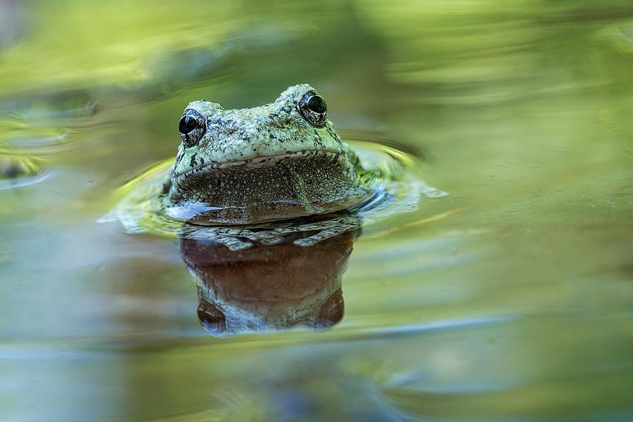 amphibiam, frog, treefrog, gray treefrog, patrick zephyr, photo