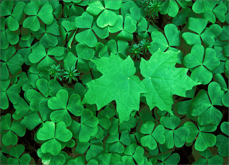 Green, clover, maple leaves, photo
