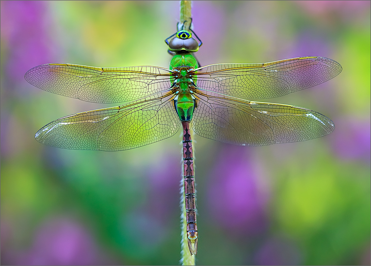 insect, , dragonfly, green darner, photo