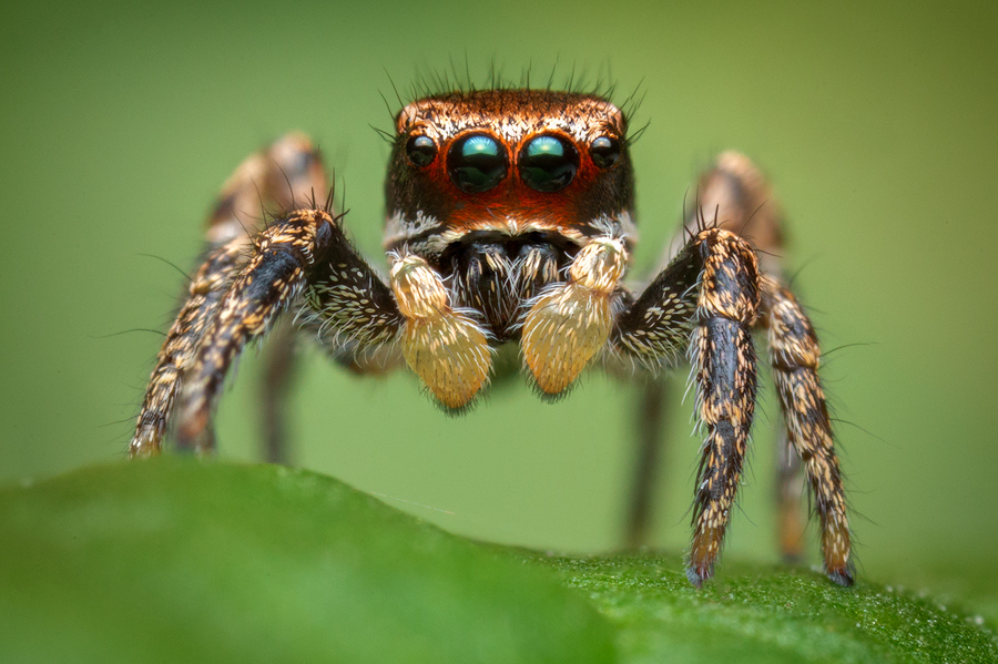 habronattus brunneus, paradise spider, salticidae, jumping spider, florida, photo