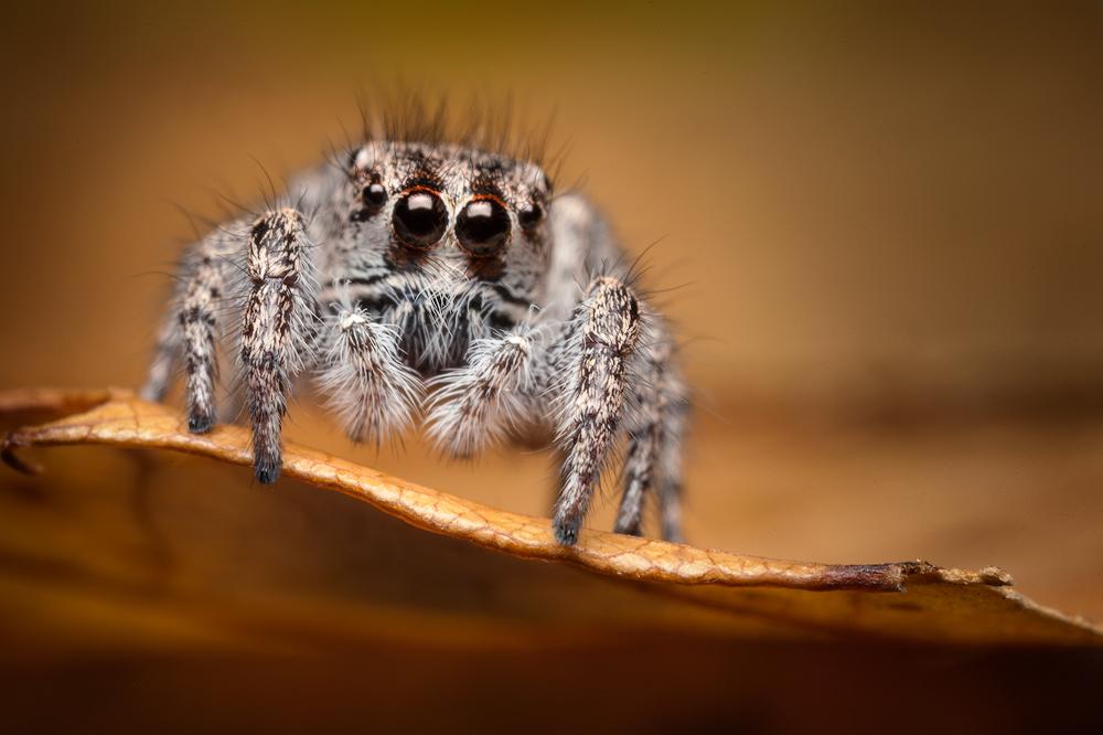 habronattus agilis, paradise spider, jumping spider salticidae, massachusetts, photo