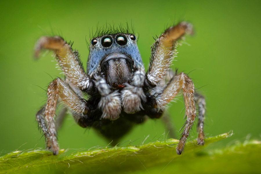 habronattus, habronattus borealis, salticidae, paradise spider, jumping spider, photo