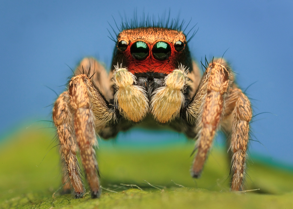 penultimate male-Many of the penultimate male Paradise Spiders have red faces. Why? I'm not sure we know yet.