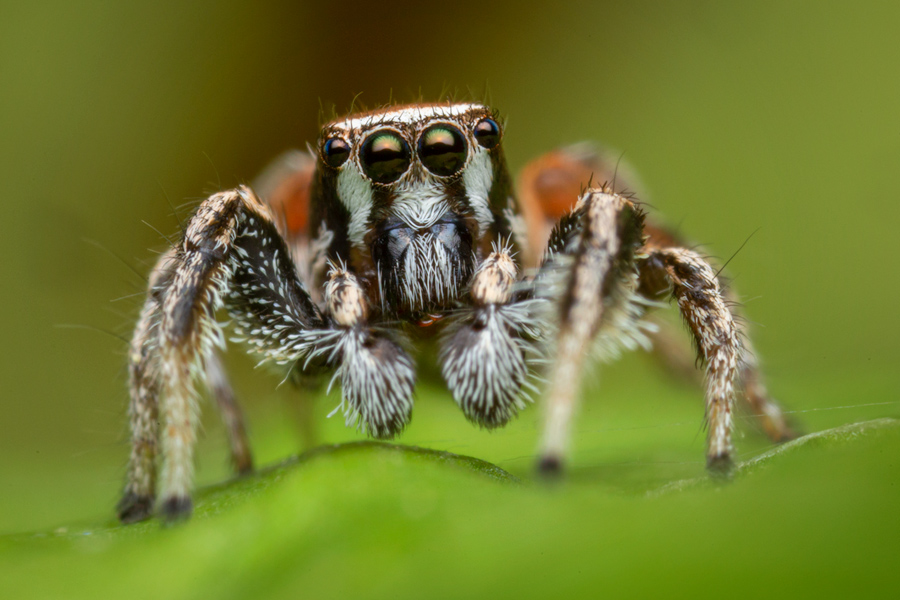 habronattus clypeatus, paradise spider, salticidae, jumping spider, Utah, adult male, photo