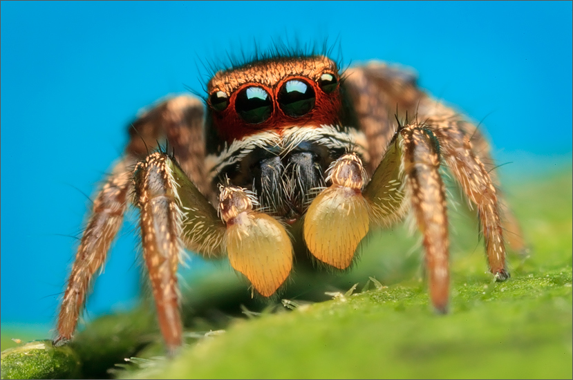 A few of the habronattus males in the area have this red scaling on the face as subadults. This particular species looses it...