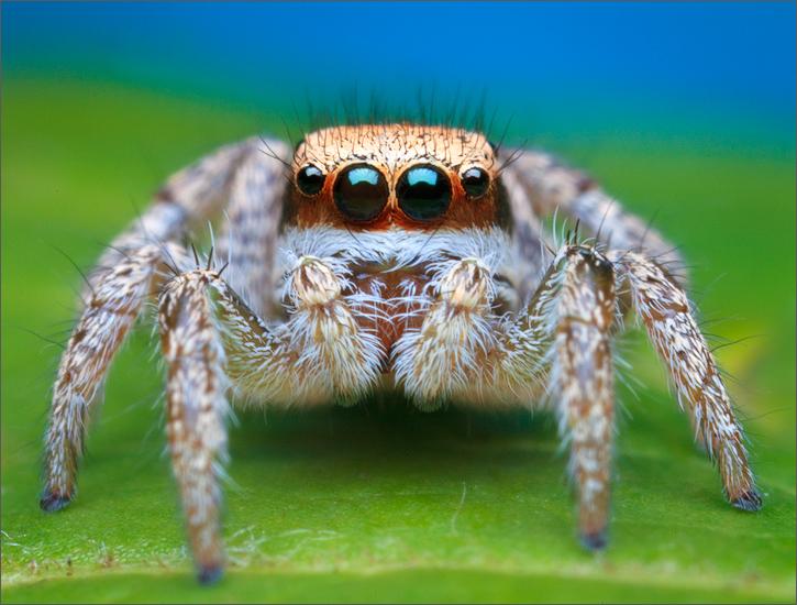 habronattus agilis, habronattus, subadult, jumping spider, spider, salticidae, patrickzephyr, massachusetts, photo