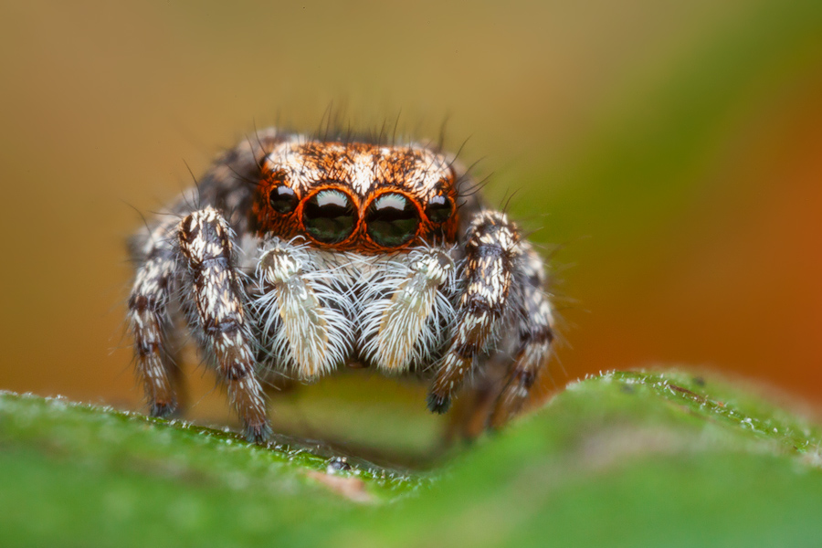 Habronattus agilis, paradise spider, salticidae, jumping spider, massachusetts, photo