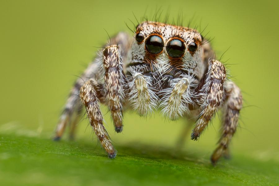 Habronattus agilis, paradise spider, salticidae, jumping spider, massachusetts, photo
