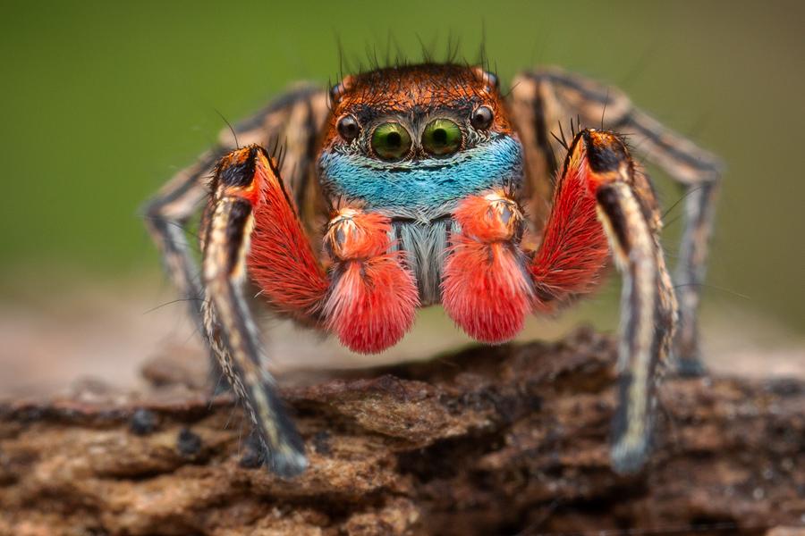 habronattus, paradise spider, habronattus americanus, salticidae, jumping spider, patrick zephyr, photo