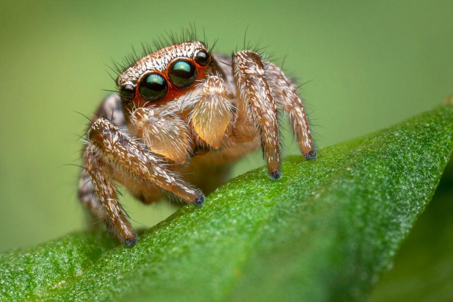 habronattus, habronattus calcarattus calcaratus, paradise spider, salticidae, jumping spider, photo