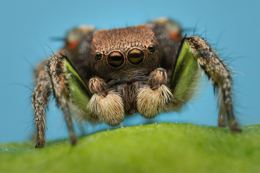 Habbronattus calcaratus maddisoni, paradise spider, salticidae, jumping spider,, photo