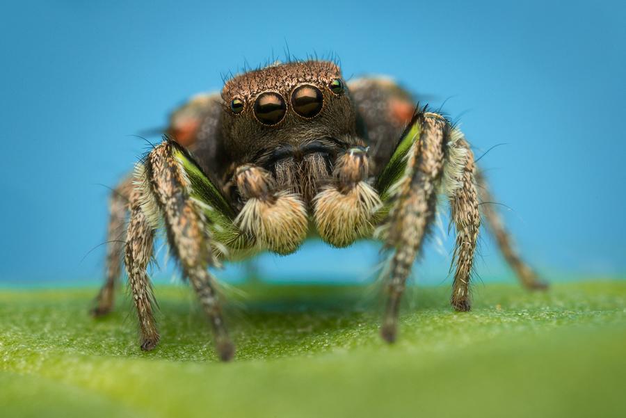 habronattus, paradise spider, habronattus calcaratus maddisoni, jumping spider, salticidae, photo