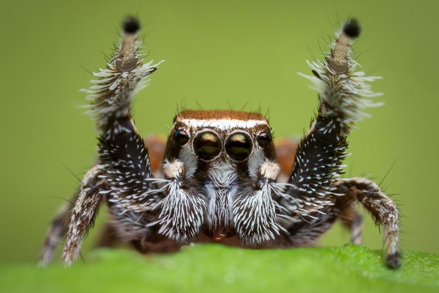 Habronattus clypeatus, paradise spider, salticidae, jumping spider, photo
