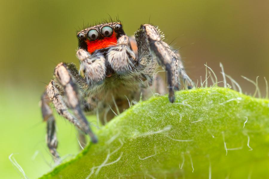 Habbronattus coecatus, paradise spider, salticidae, jumping spider,