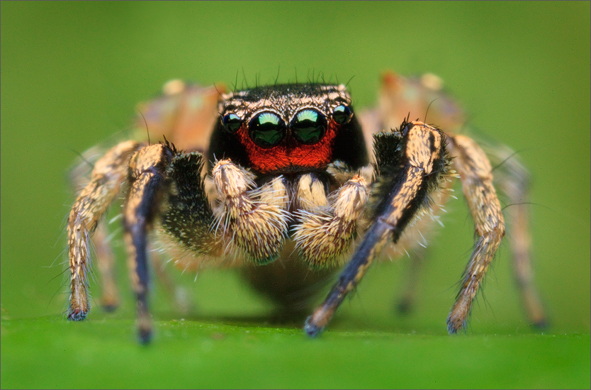 habronattus, coecatus, jumping spider, salticidae, spider, cape cod, massachusetts, patrick zephyr, , photo