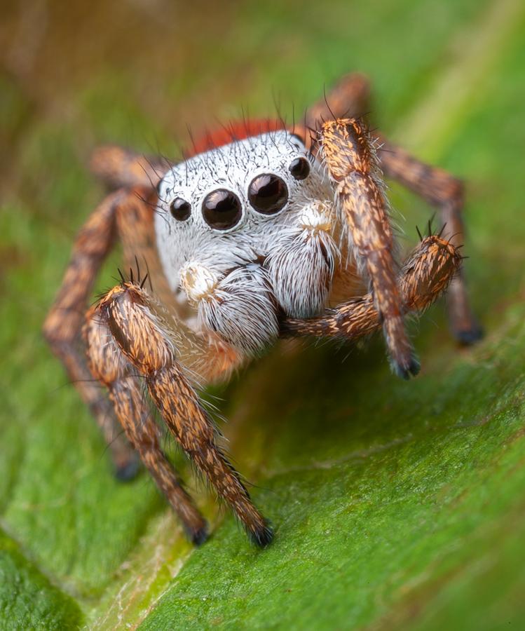 Habronattus decorus, salticidae, jumping spider, Massachusetts, Habronattus, paradise spider, photo