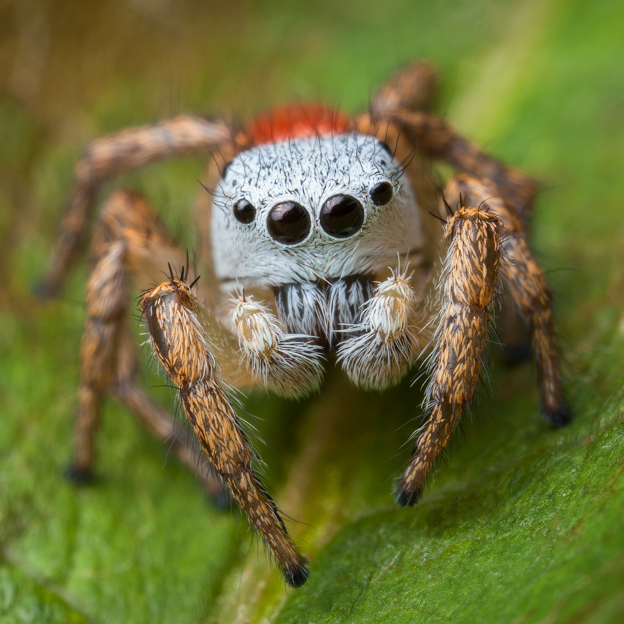 Habronattus decorus, paradise spider, salticidae, jumping spider, photo