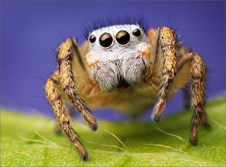 jumping spider, spider, salticidae, habronattus, habronattus decorus, photo
