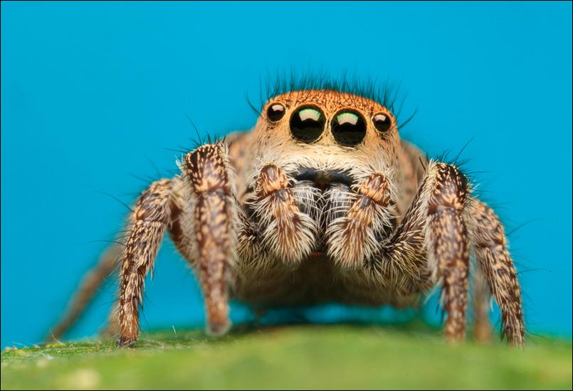 habronatus, jumping spider, salticidae