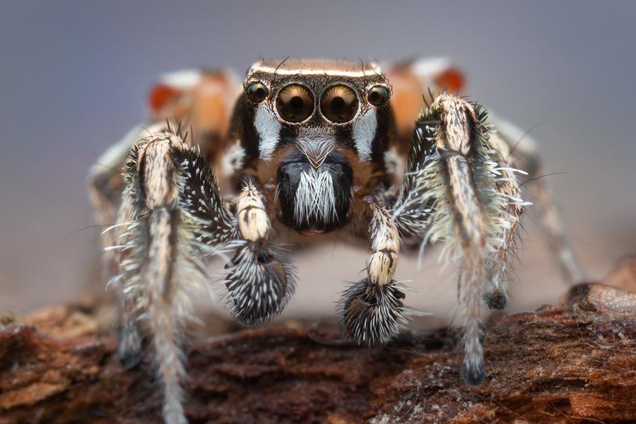 habronattus formosus, paradise spider, salticidae, jumping spider, photo