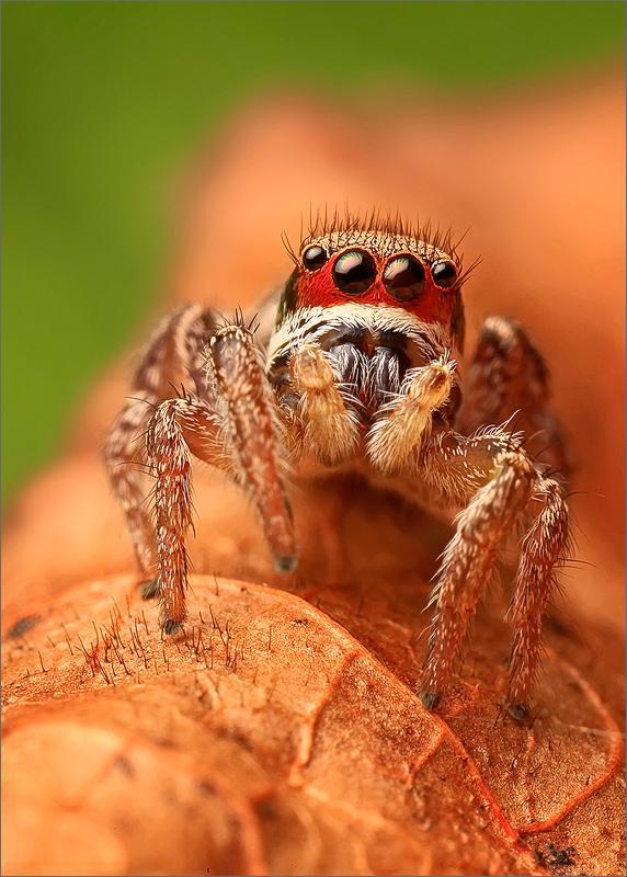 spider, jumping spider, arachnida, salticidae, insect, habronattus, photo