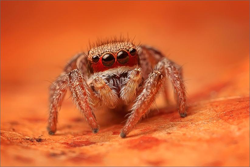 spider, jumping spider, arachnida, salticidae, insect, habronattus