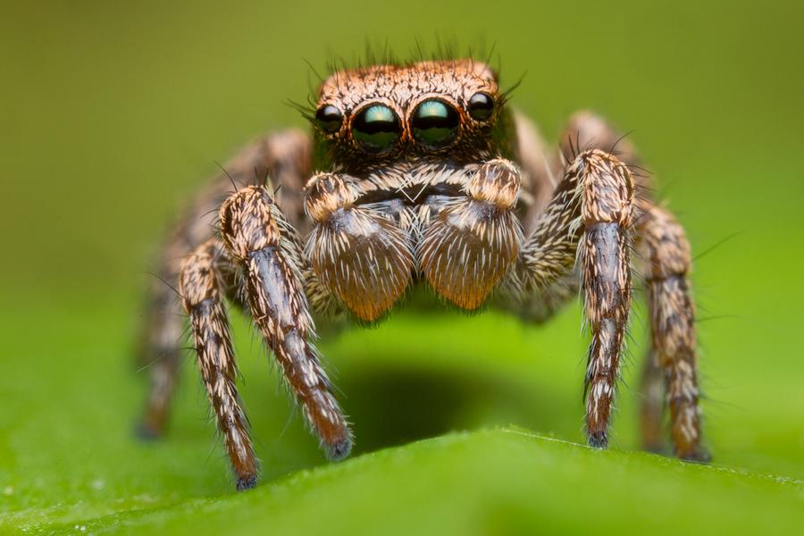 Habronattus oregonensis, paradise spider, salticidae, jumping spider, photo