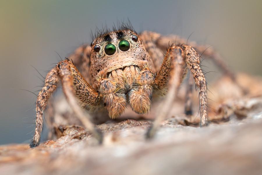 Habronattus sansoni, Habronattus, paradise spider, salticidae, jumping spider, photo