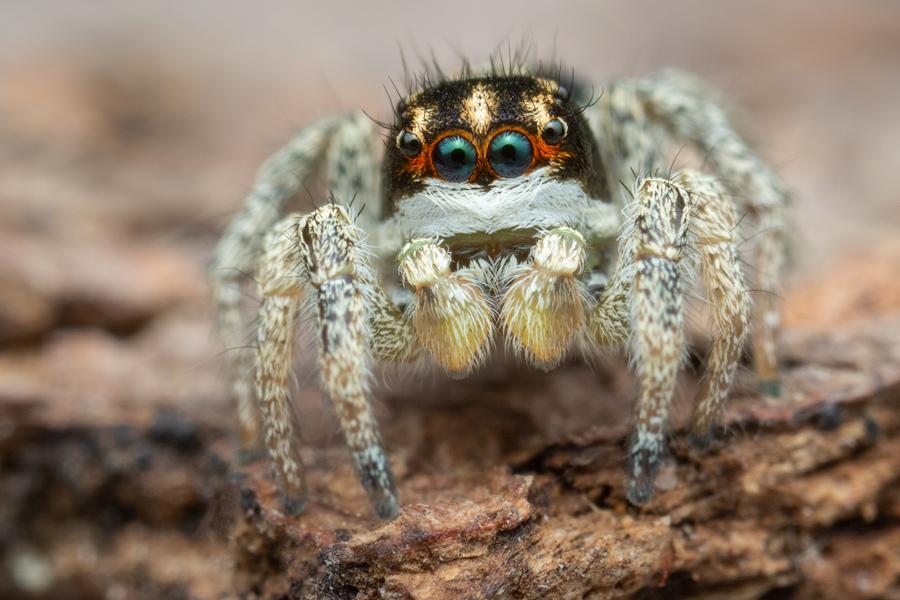 habronattus, paradise spider, habronattus tarsalis, salticidae, jumping spider, patrick zephyr, photo