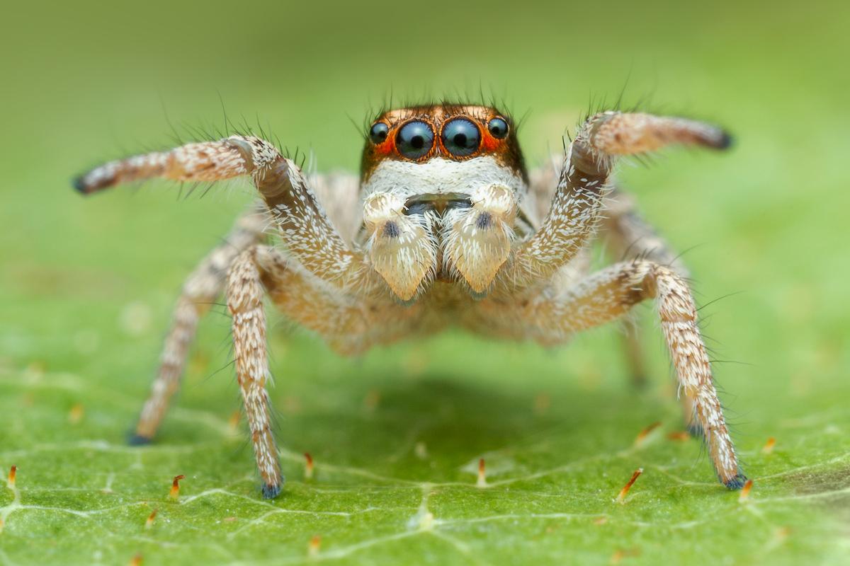 habronattus tarsalis, paradise spider, salticidae, jumping spider
