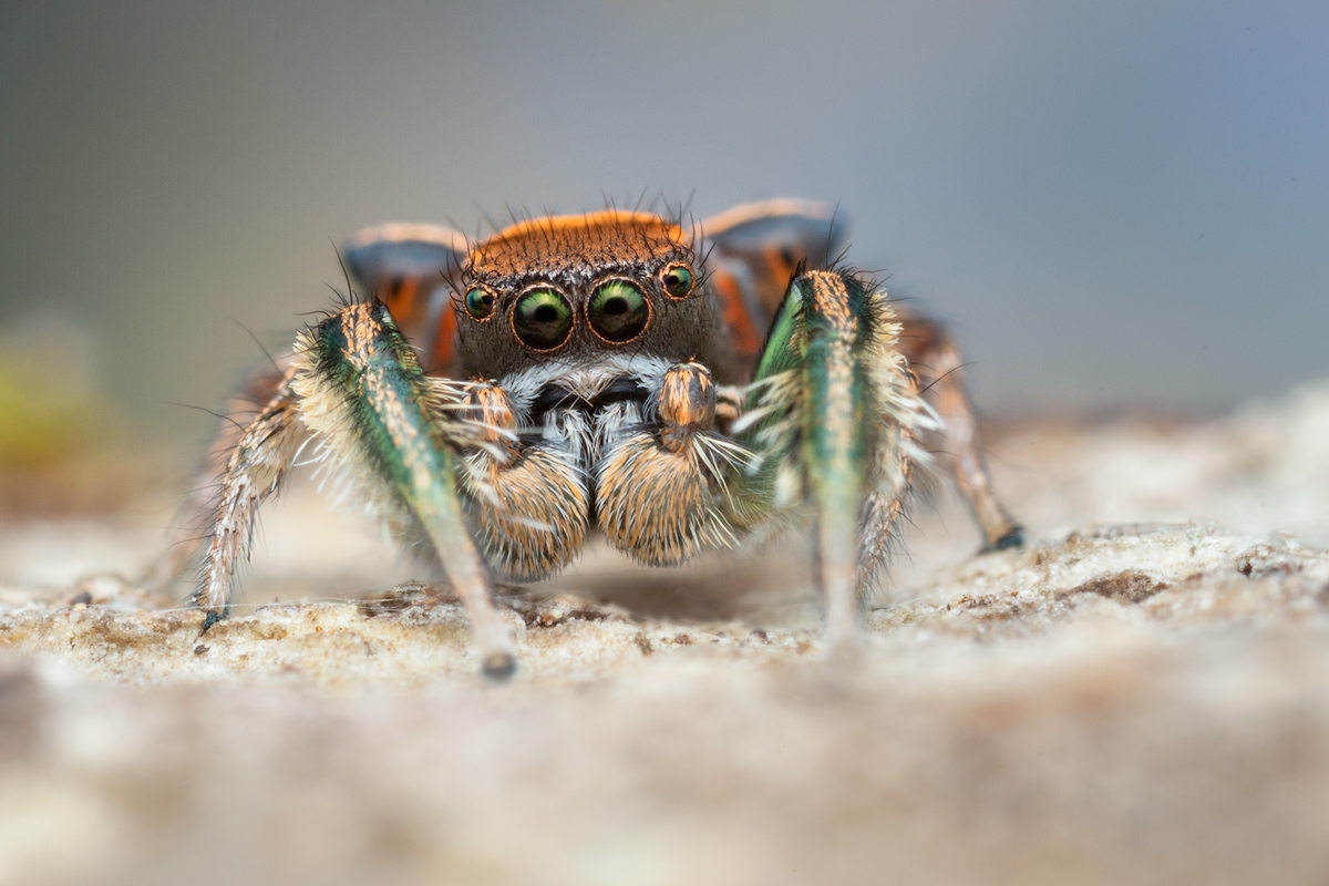 I think this is my favorite local Paradise Spider!! I can't let a spring go by without photographing them.