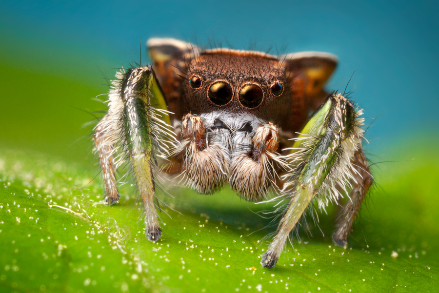 habronattus, paradise spider, habronattus viridipes, jumping spider, salticidae, photo