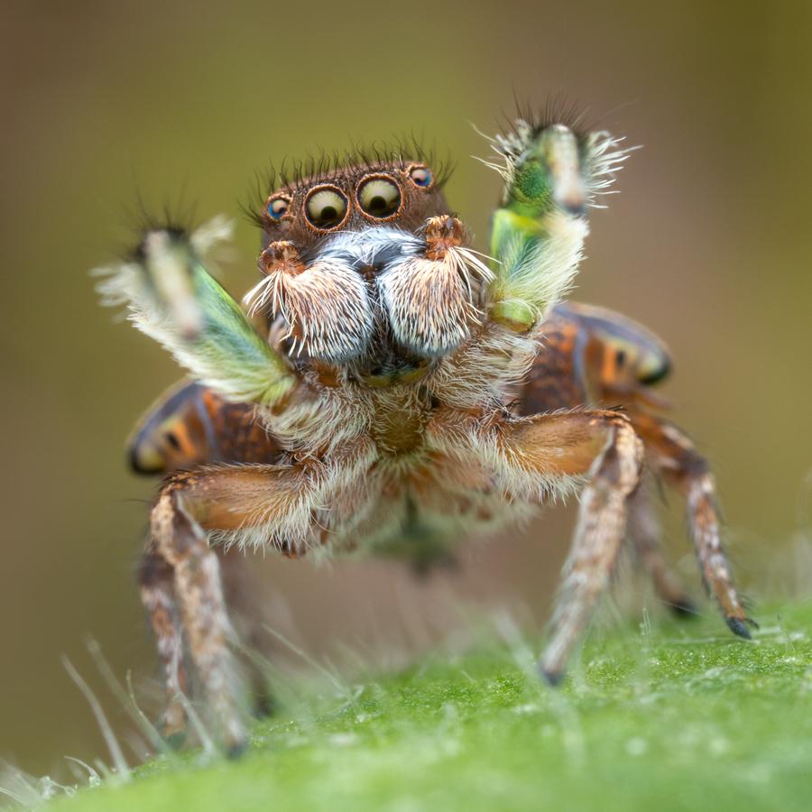habronattus viridipes, paradise spider, salticidae, jumping spider, massachusetts, habronattus, photo
