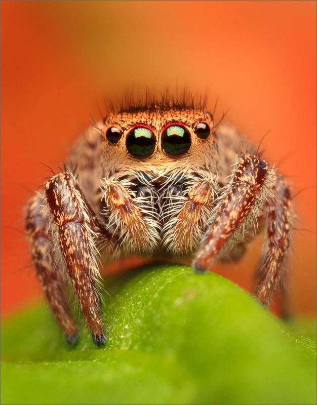 habronattus viridipes, jumping spider, spider, massachusetts, photo