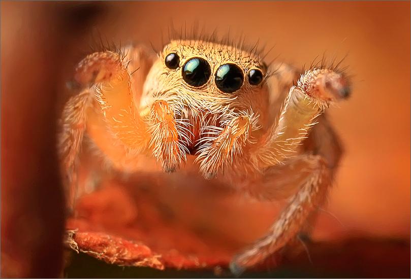 spider, jumping spider, arachnida, salticidae, insect, habronattus , photo