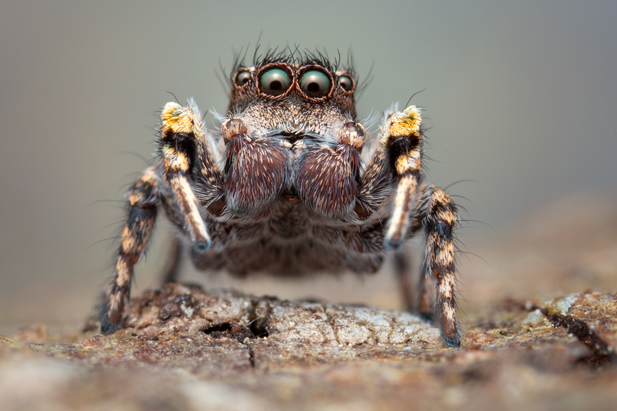 Habronattus georgiensis, habronattus, paradise spider, jumping spider, salticidae, photo