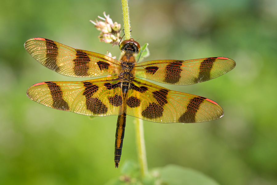 dragonfly, Celithemis eponina, halloween pennant, massachusetts, photo