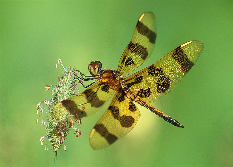insect, , dragonfly, halloween pennant,, photo
