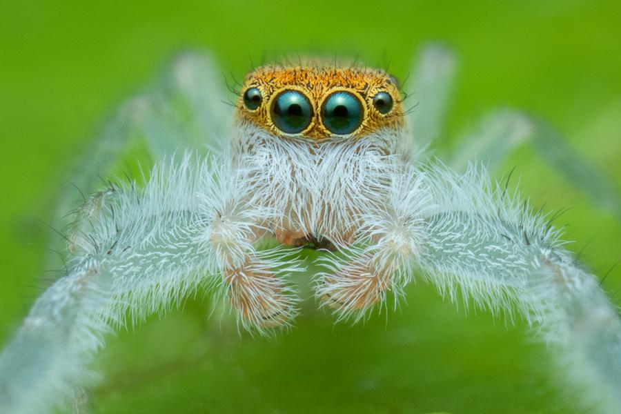 jumping spider, salticidae, Patrick Zephyr, Massachusetts,Hentzia mitrata