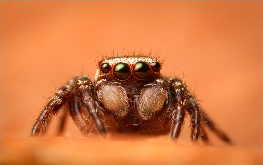 jumping spider, spider, arachnida, salticidae, insect, hoys jumper
