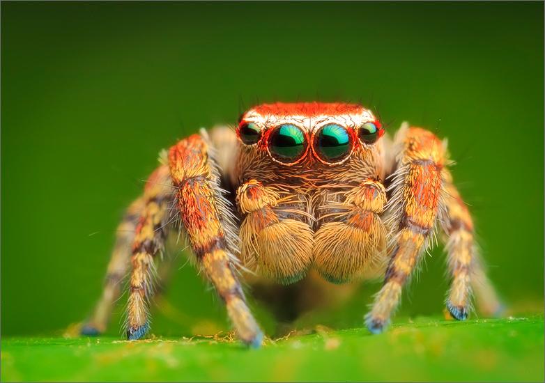 spider, jumping spider, arachnida, salticidae, insect, hoys jumper, photo