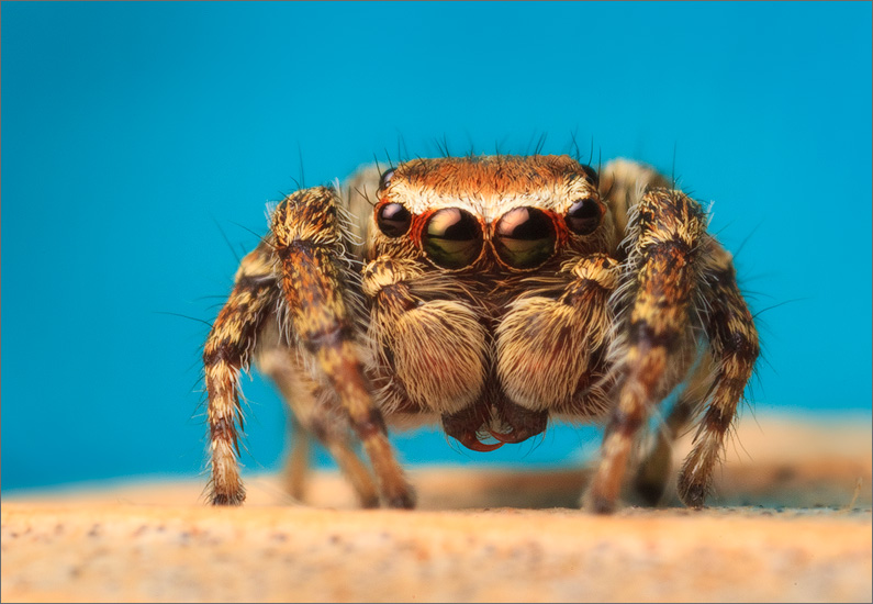 spider, jumping spider, arachnida, salticidae, insect, hoys jumper, photo