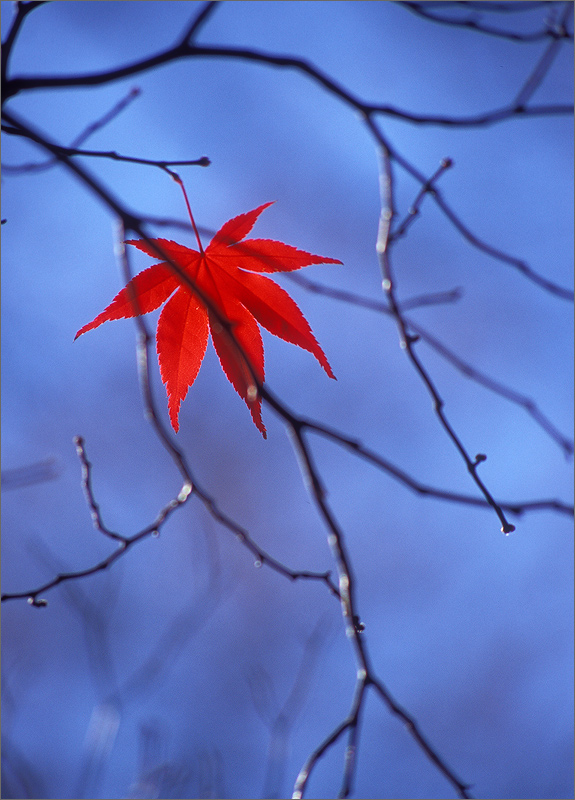 Japanese maple, leaf, autumn, photo