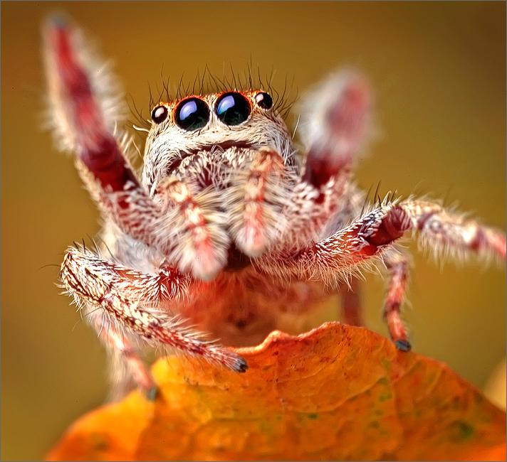 jumping spider, spider, bronze jumper, eris militaris, arachnida, salticidae, insect