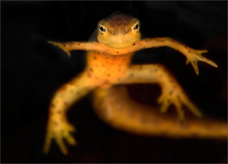 amphibian, herp, Notophthalmus v. viridescens, red spotted newt, newt, photo