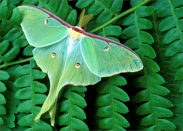 insect, moth, luna moth, photo
