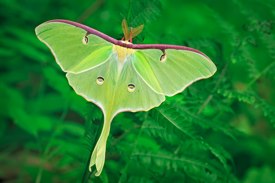 insect, moth, luna moth, green, , photo