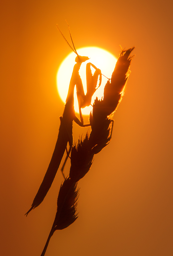 praying mantis, sunset, silhouette, Patrick Zephyr, insect, macro, nature photography